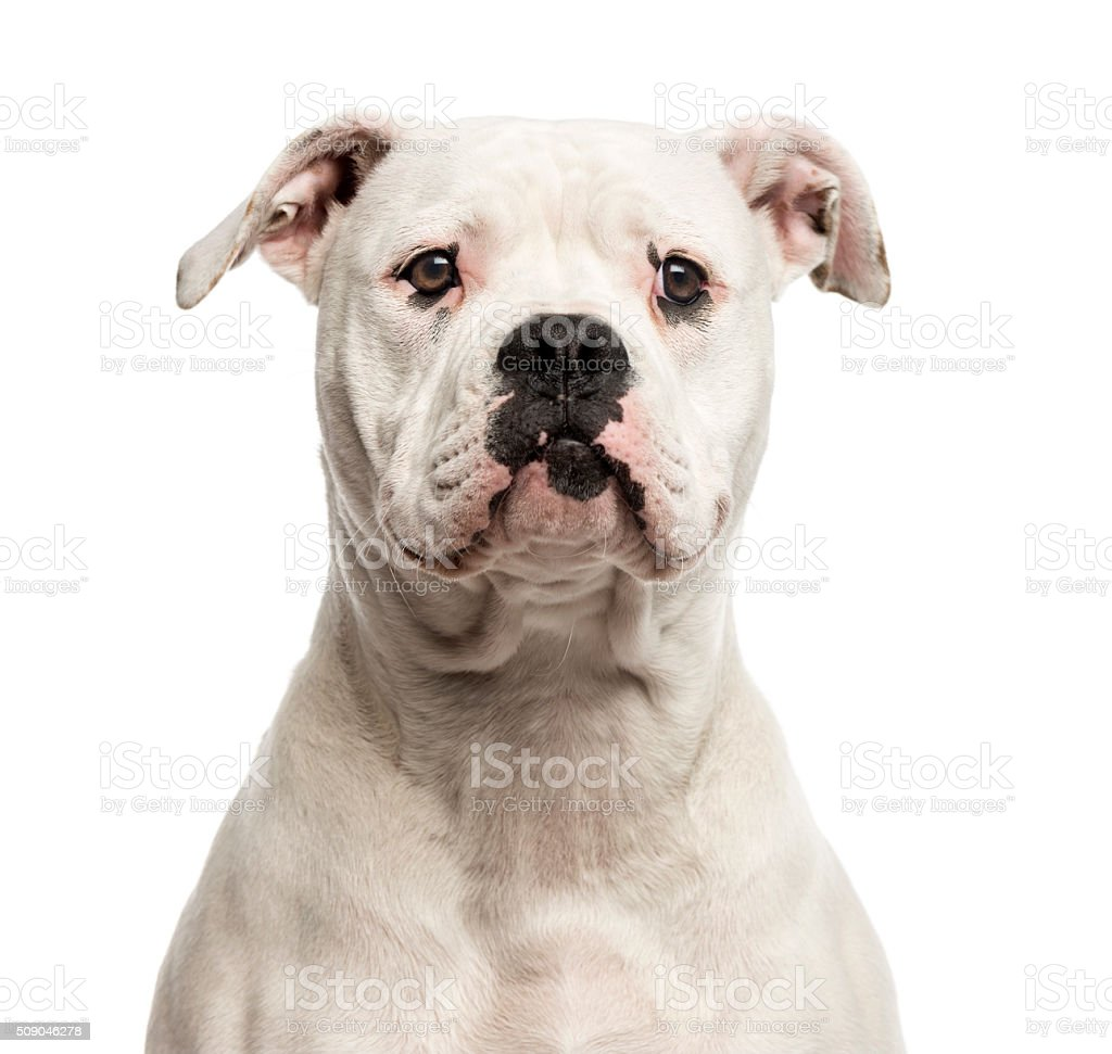 Close-up of an American Bulldog stock photo