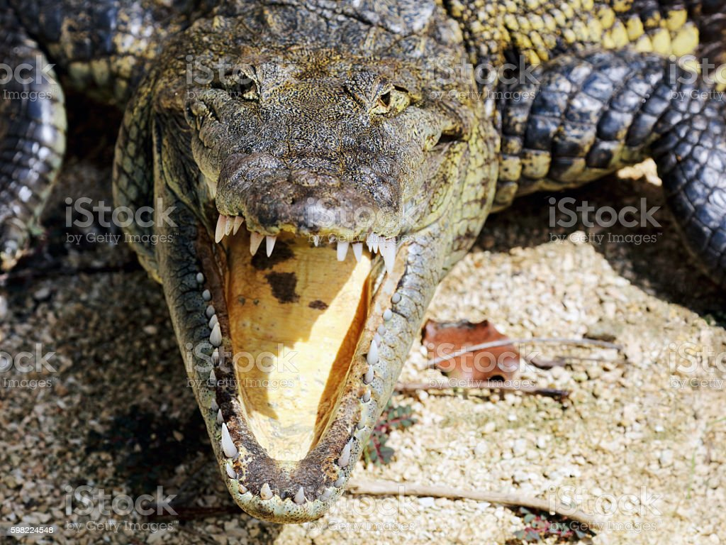Close-up of an American crocodile with open jaws stock photo