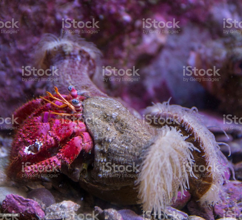 Close-up of an Anemone Hermit Crab stock photo