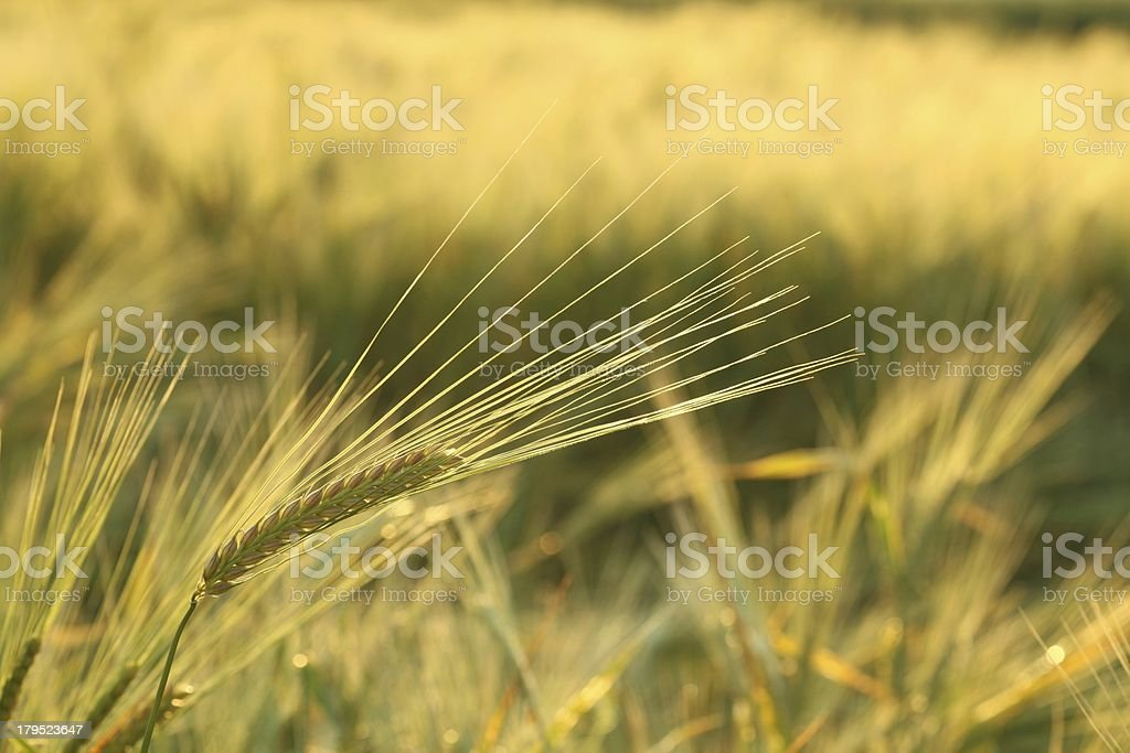 Close-up of an ear in a field royalty-free stock photo