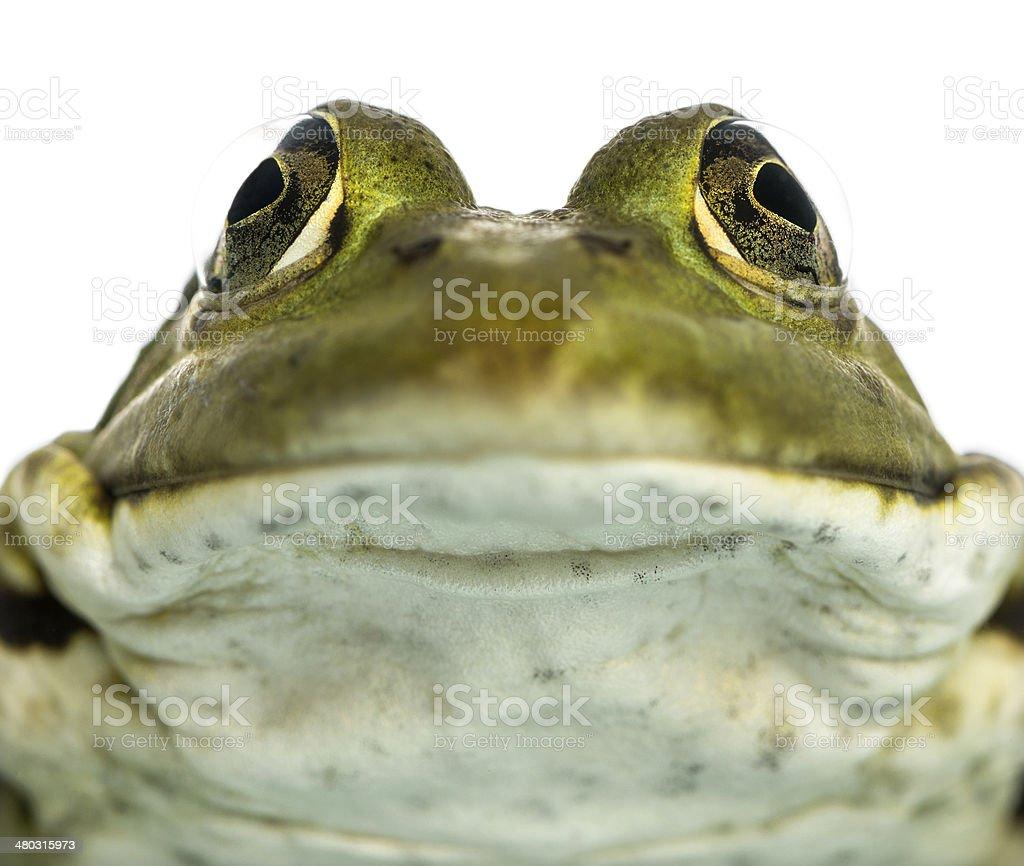 Close-up of an Edible Frog facing, Pelophylax kl. esculentus stock photo