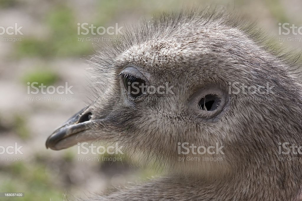 Close-up of an Emu head stock photo