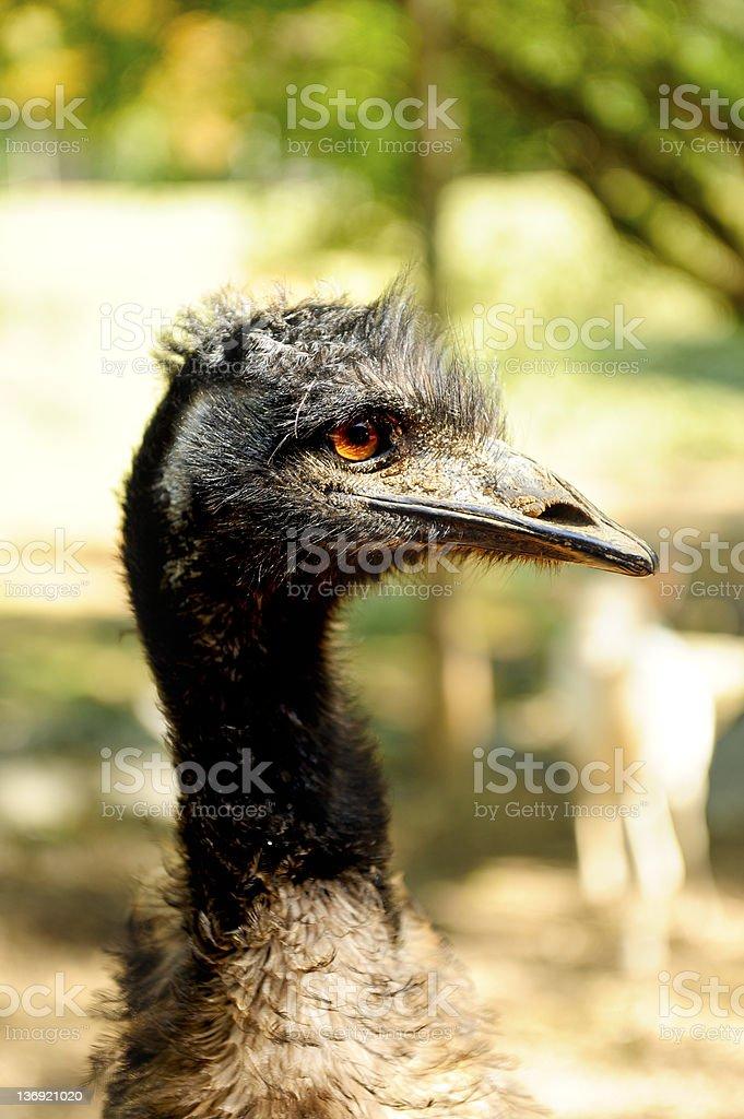 Closeup of an Emu royalty-free stock photo
