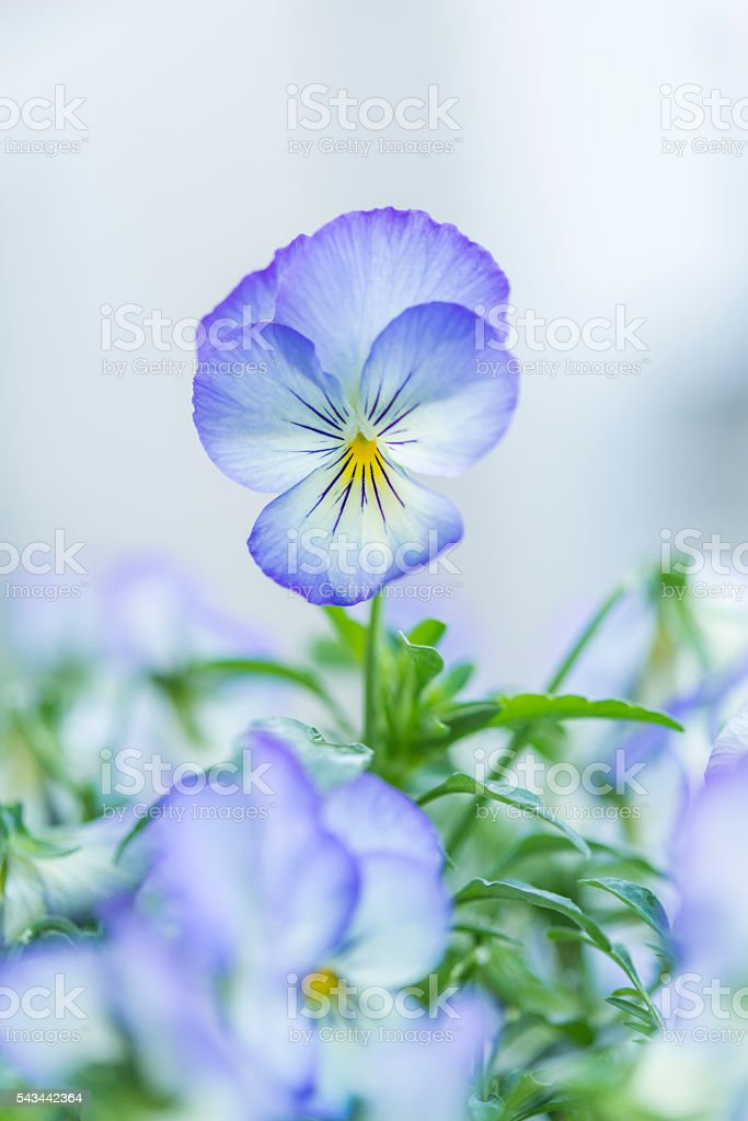 Closeup of an horned violet flower stock photo