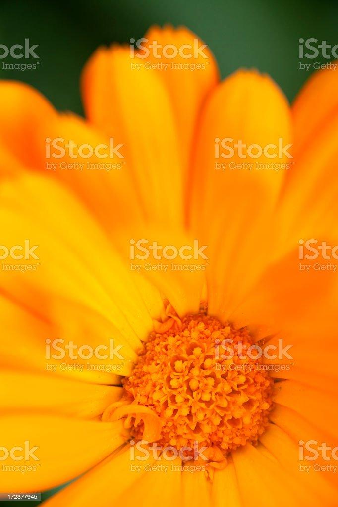 Closeup of an orange flower royalty-free stock photo