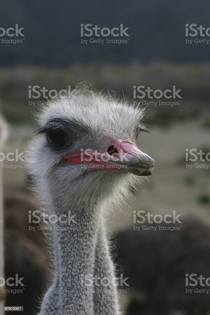 closeup of an ostrich royalty-free stock photo