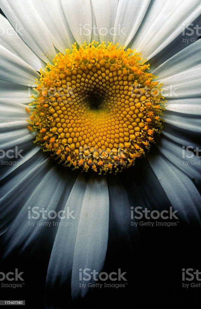 Close-up of an Ox-eye Daisy royalty-free stock photo