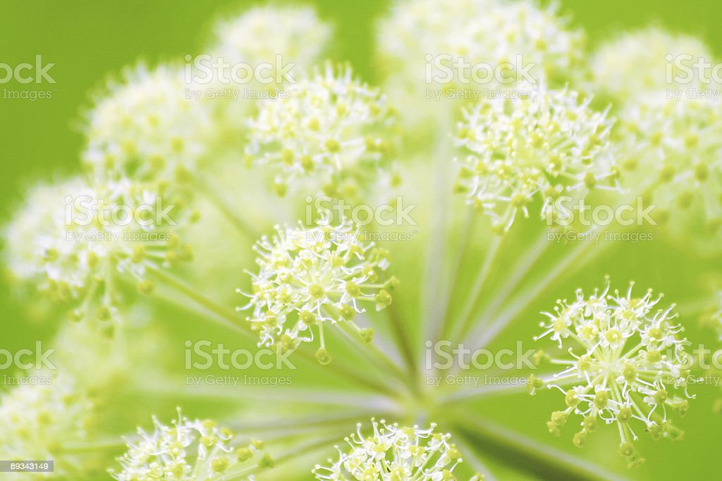 Close-up of Angelica against green background stock photo