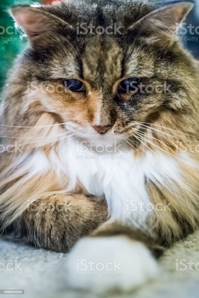 Closeup of angry maine coon cat looking down playing stock photo