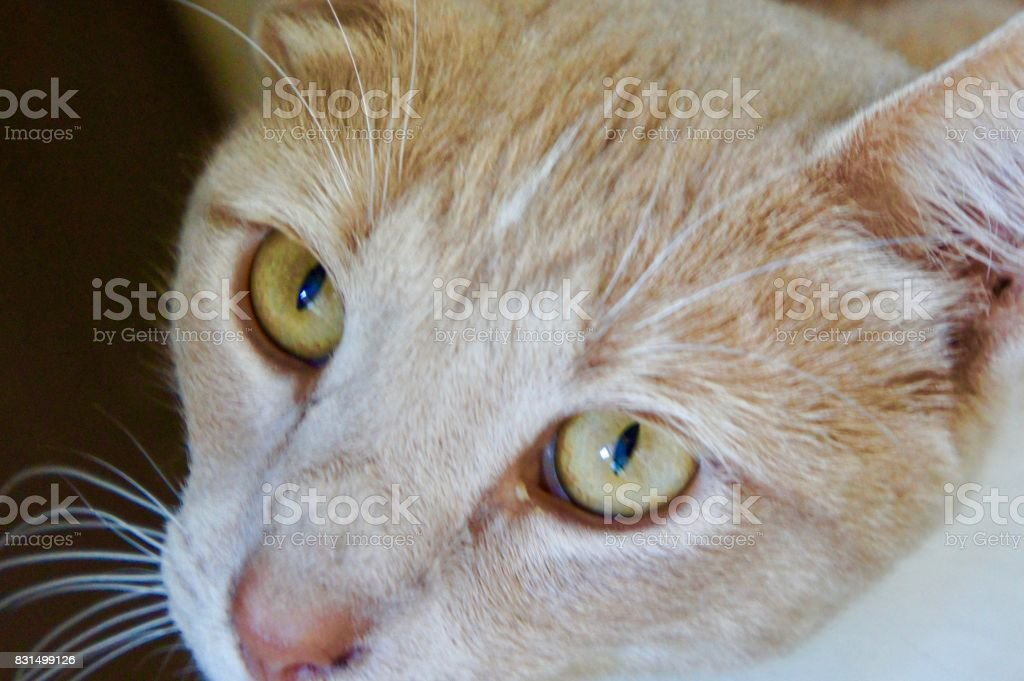 Close-up of Apricot Colored Cat stock photo