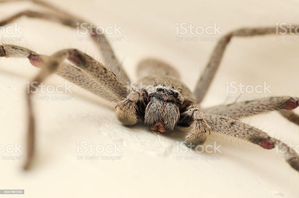 Close-up of Australian Huntsman Spider stock photo