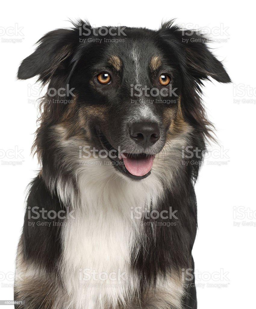 Close-up of Australian Shepherd dog, 1 year old stock photo