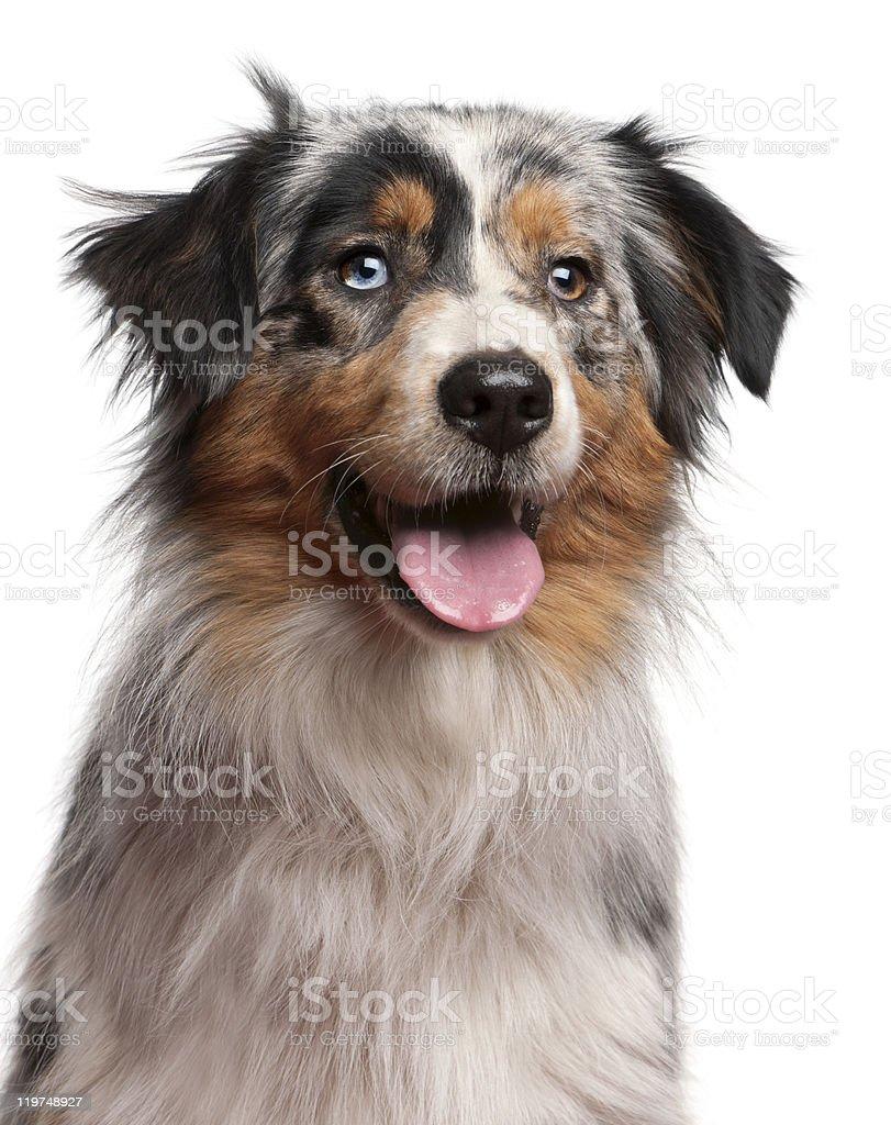 Close-up of Australian Shepherd dog, 1 year old, white background. royalty-free stock photo