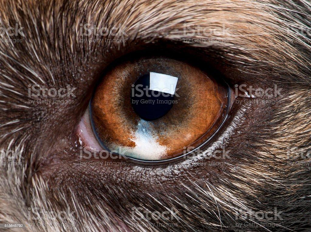 Close-up of Australian Shepherd's eye stock photo
