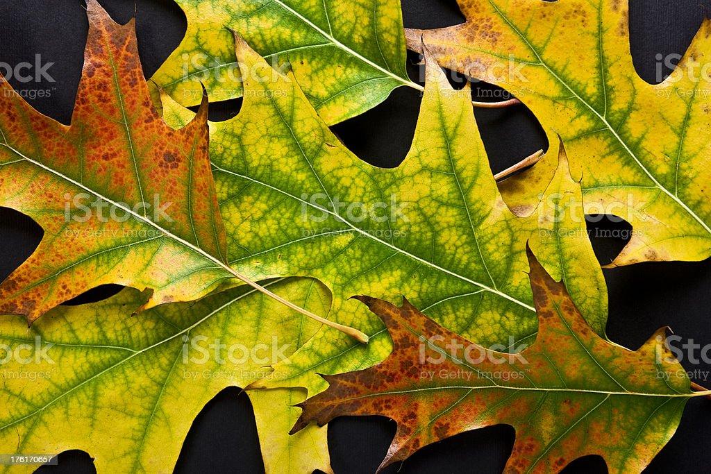 Closeup of Autmn Leaves on Black stock photo