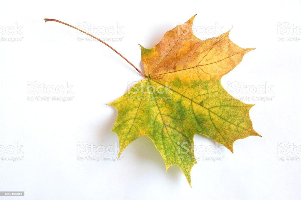 Close-up of autumn leaf on white background royalty-free stock photo