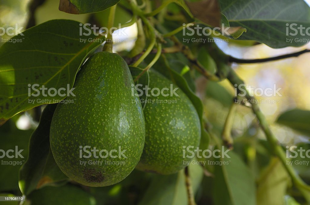 Close-up of Avacado Rippening on Tree royalty-free stock photo