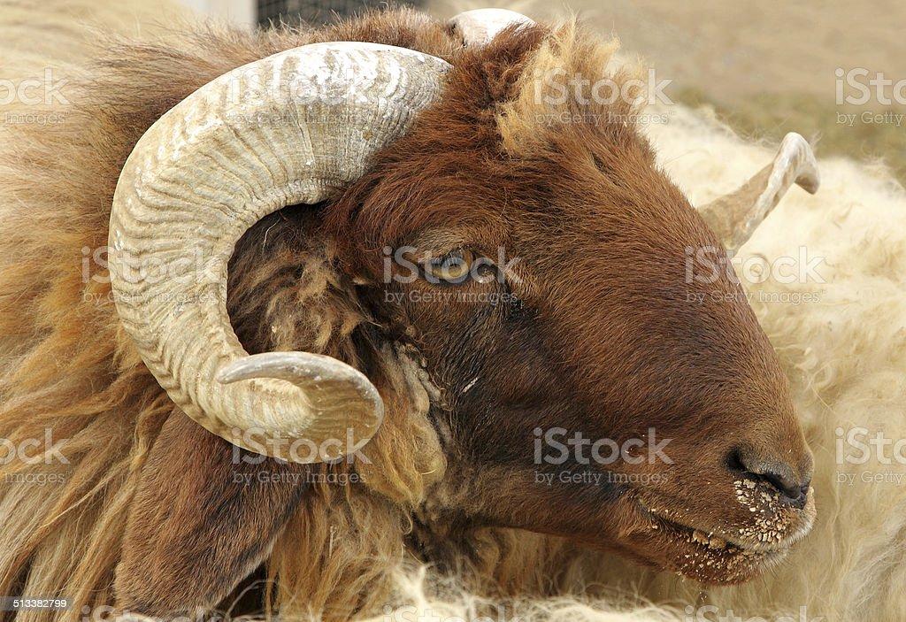 Closeup of awassi sheep stock photo