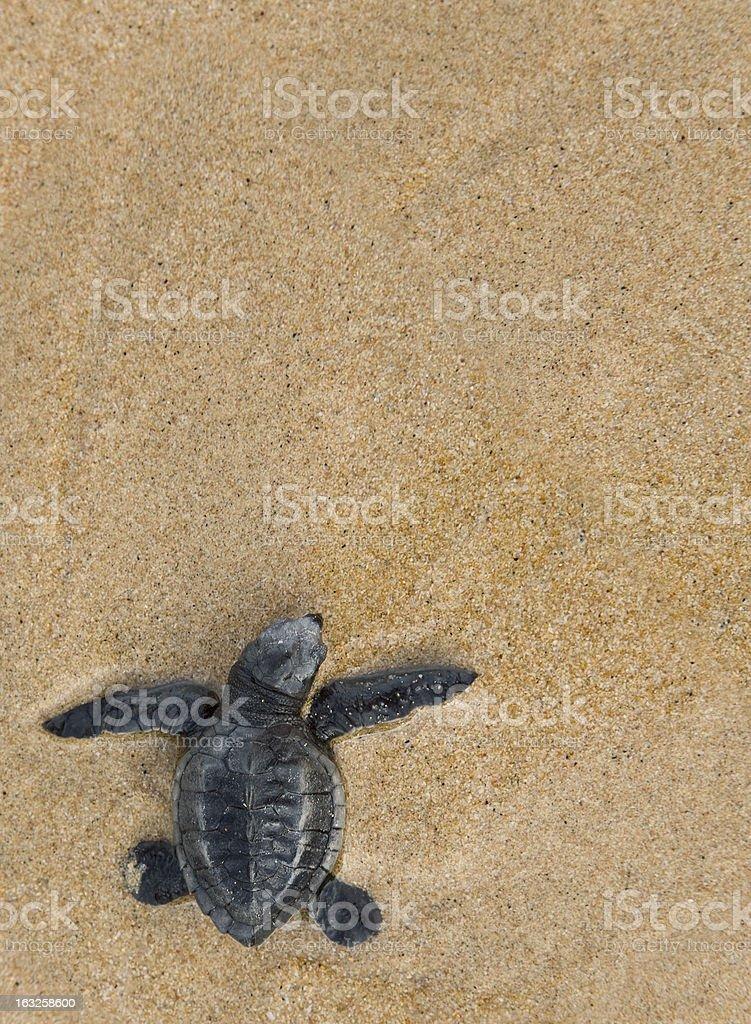 Close-up of baby Loggerhead sea turtle stock photo