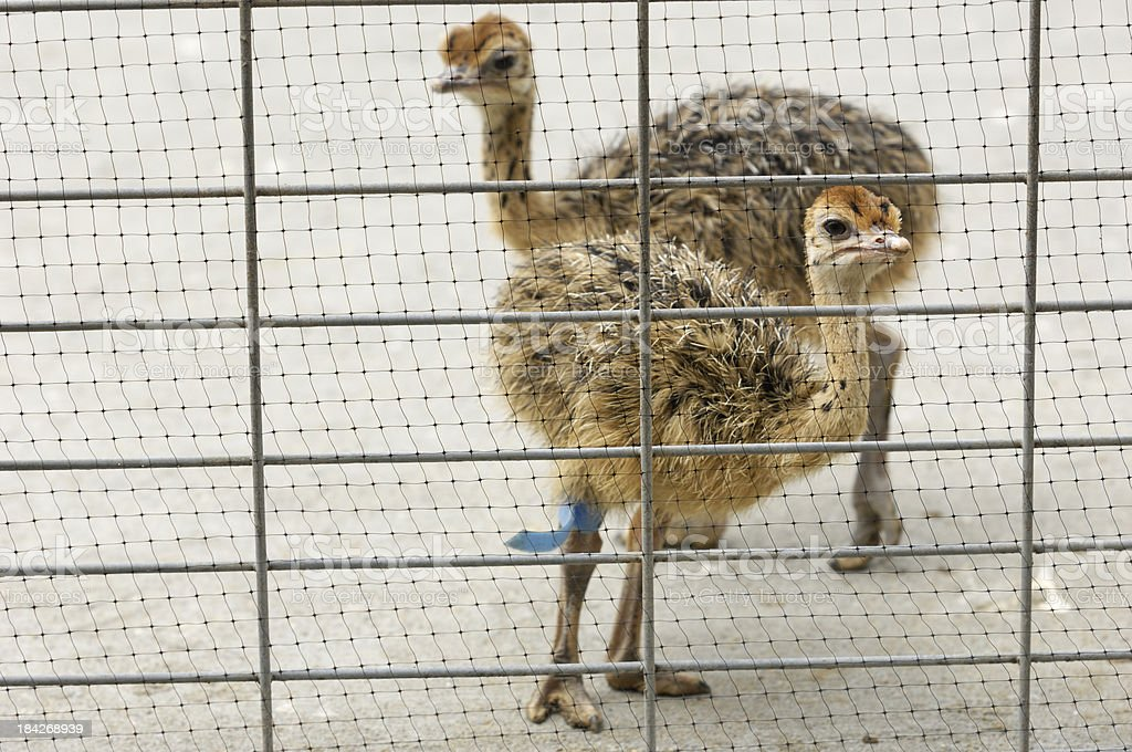 Close-up of Baby Ostrich Chicks royalty-free stock photo