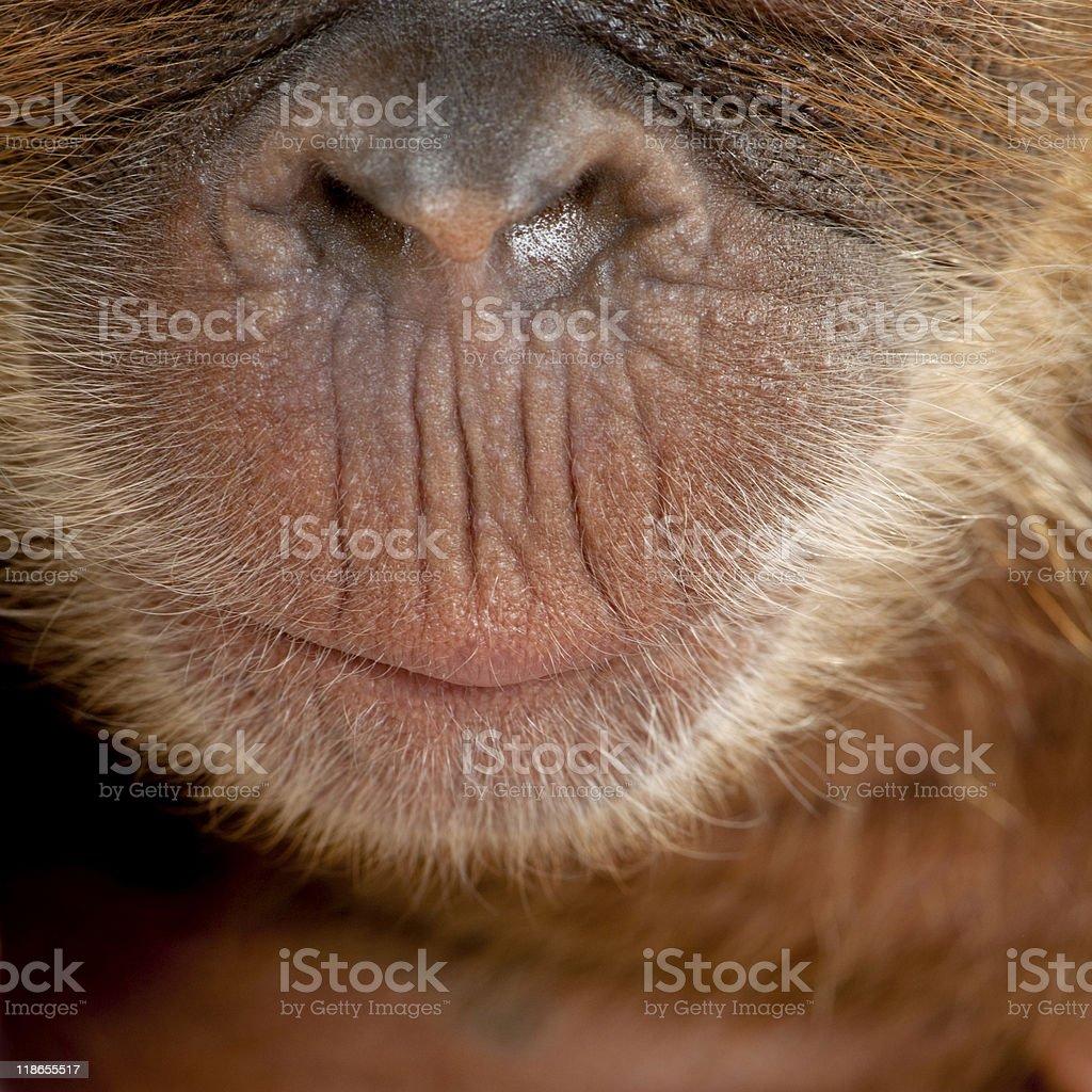 Close-up of baby Sumatran Orangutan's nose and mouth royalty-free stock photo