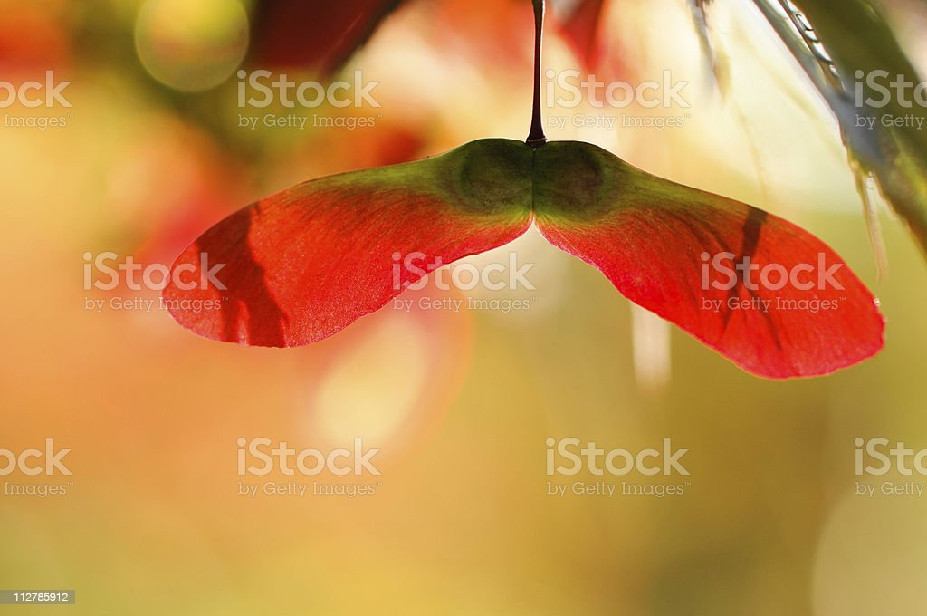 Close-up of back-lit maple seeds stock photo