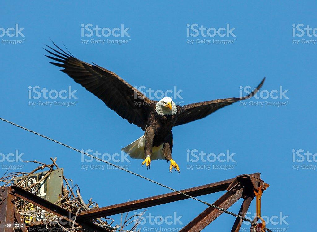 Close-up of Bald Eagle Landing Against Blue Sky stock photo
