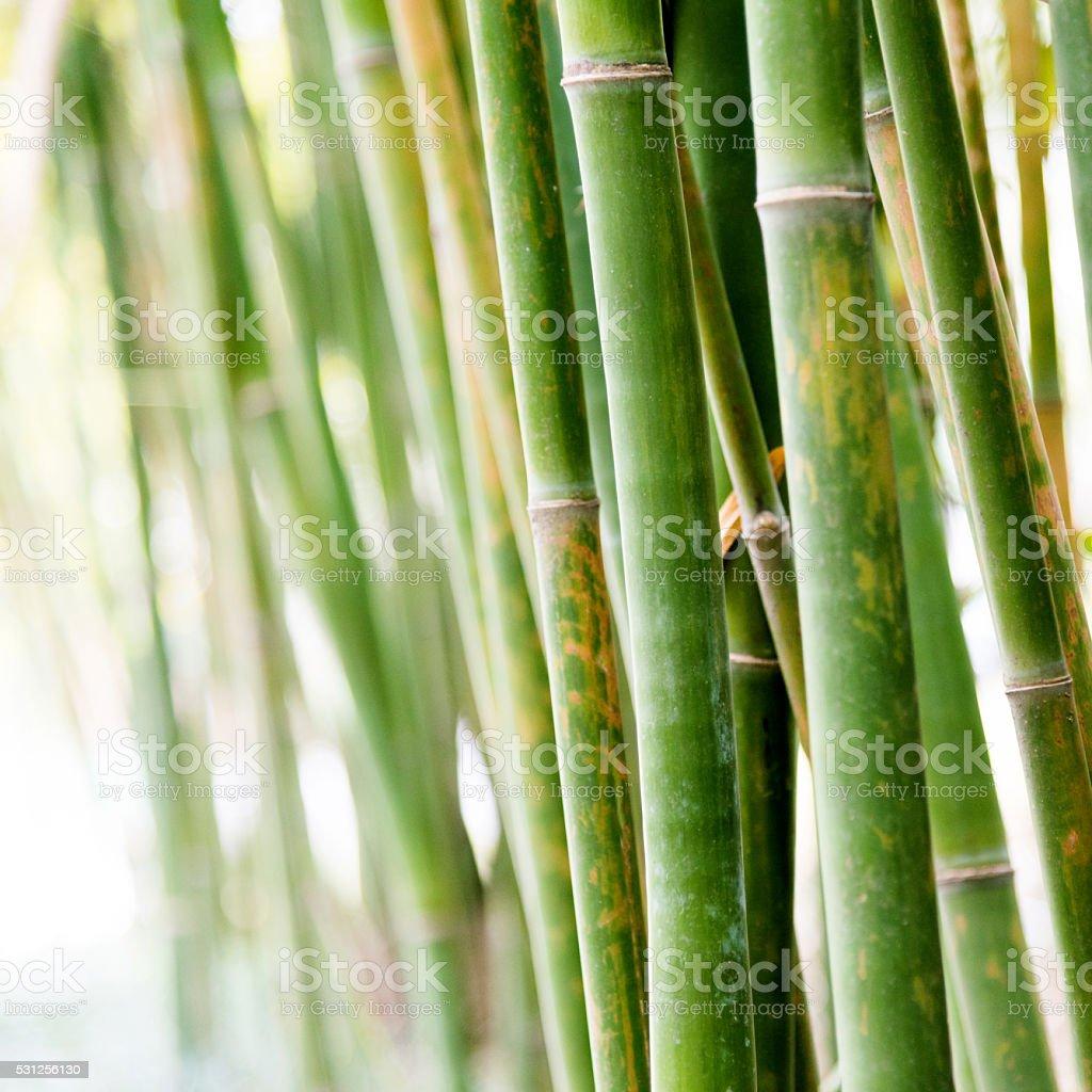 Closeup of bamboo brove stock photo