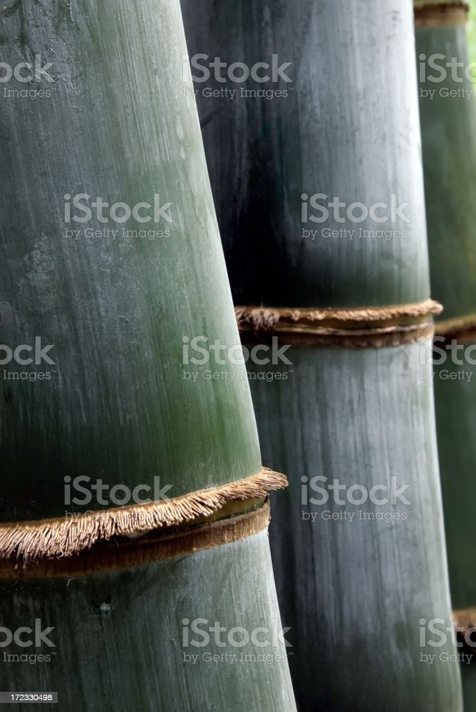 Close-up of bamboo stems in morning light royalty-free stock photo