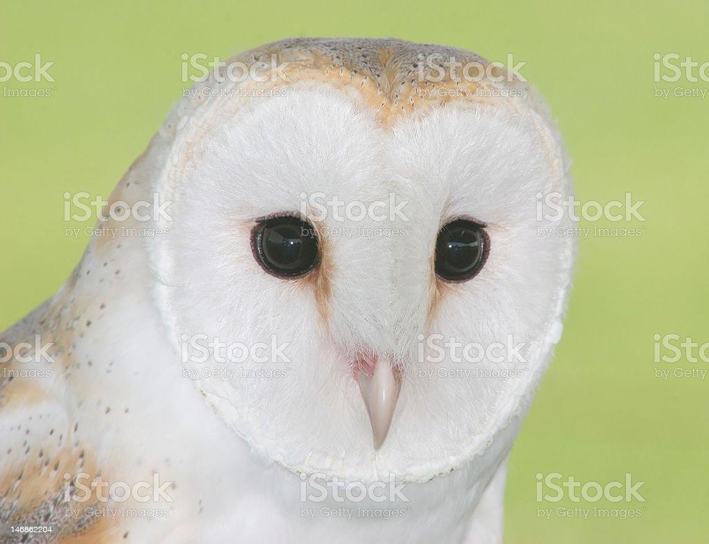 Close-up of lechuza blanca foto de stock libre de derechos