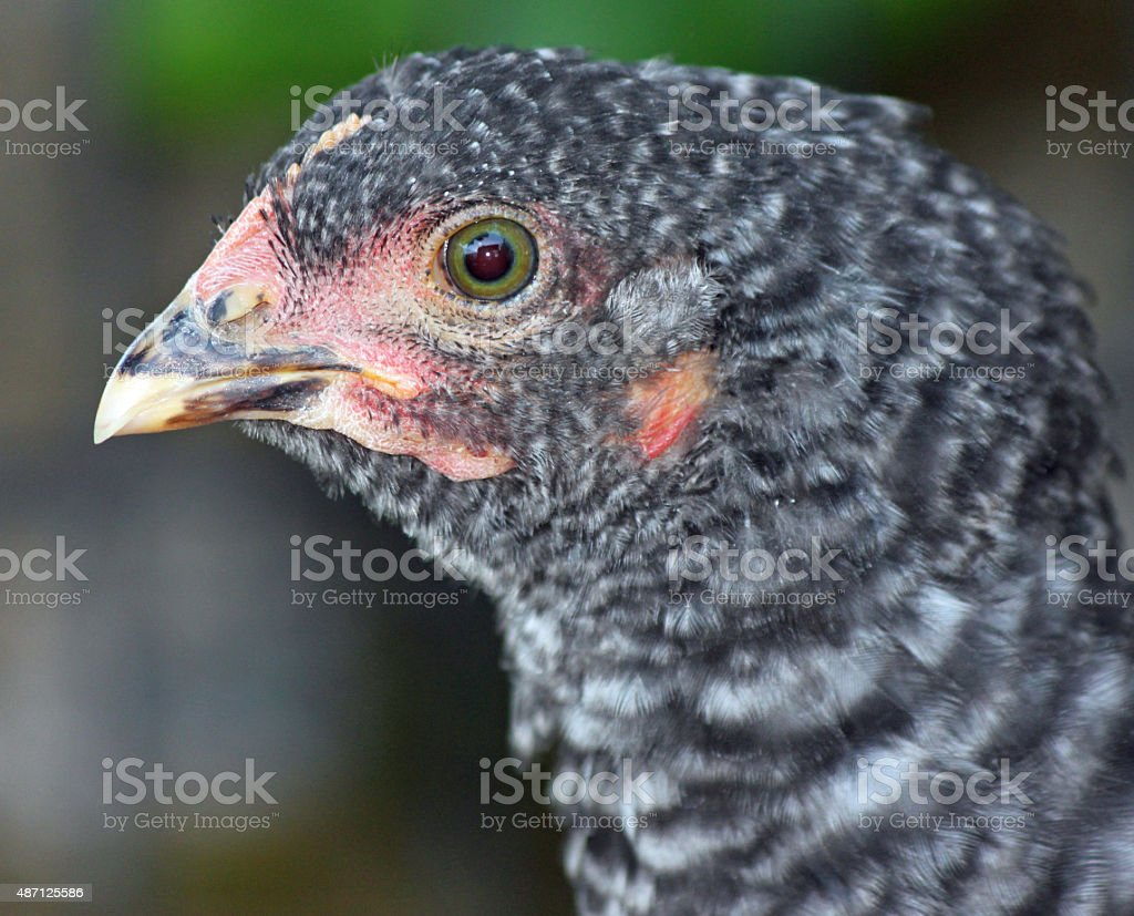 Closeup of Barred Rock Chick stock photo