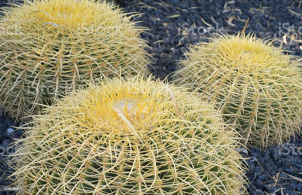 Close-up of Barrel Cactus royalty-free stock photo