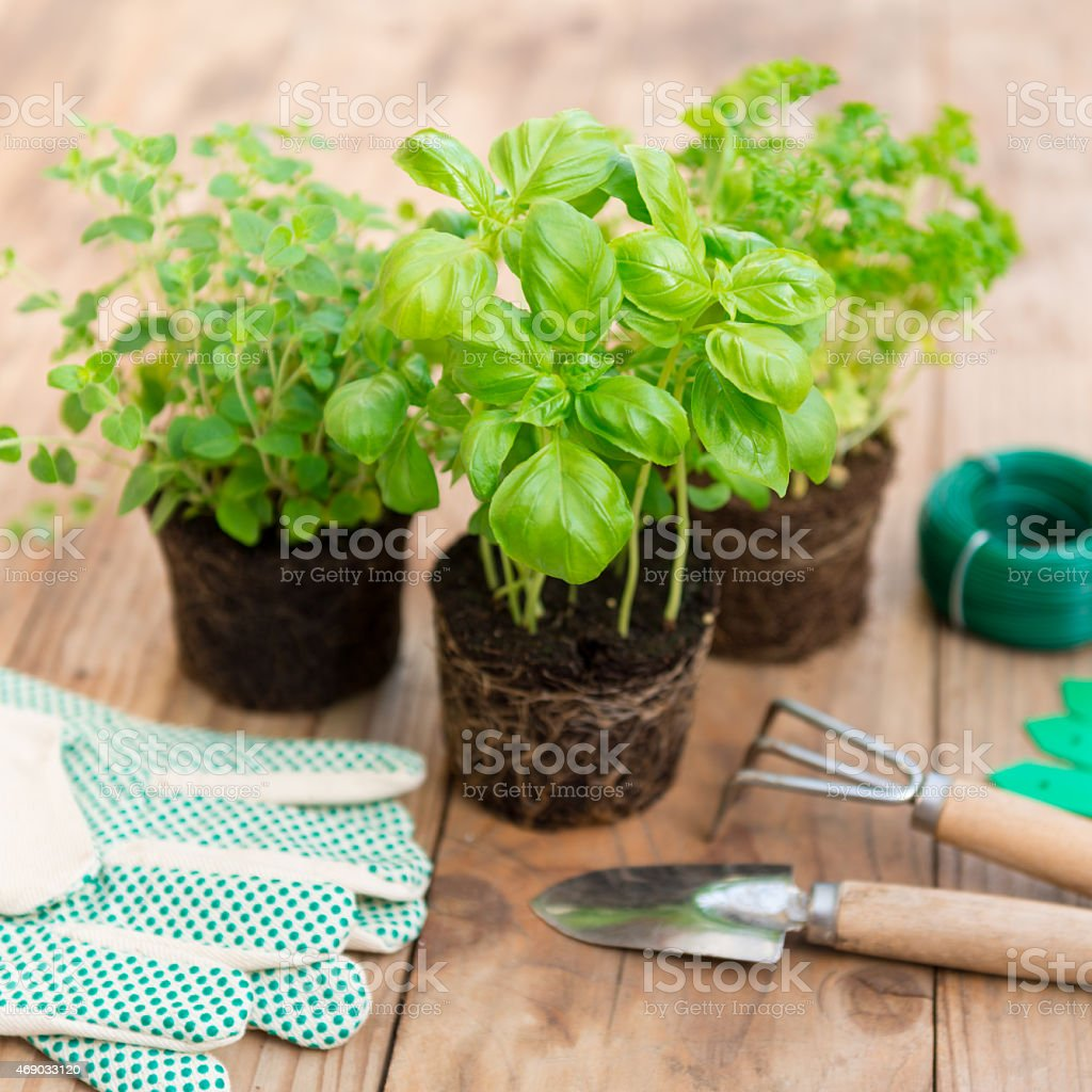 A close-up of basil and other seedlings on potting table stock photo