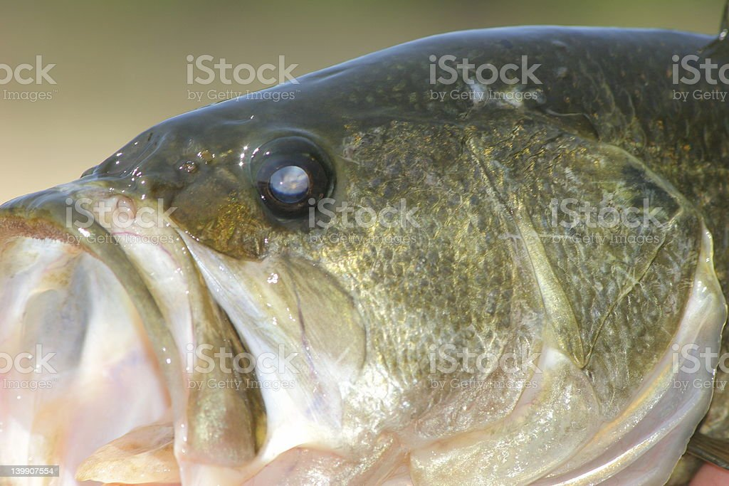 Close-Up of Bass royalty-free stock photo