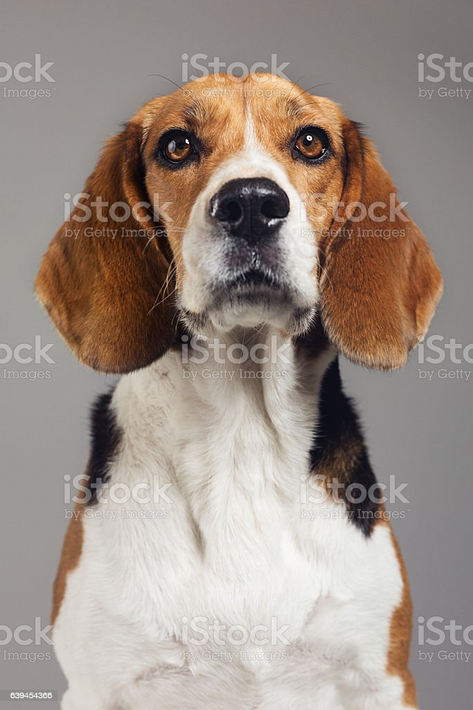 Close-up of Beagle against gray background stock photo