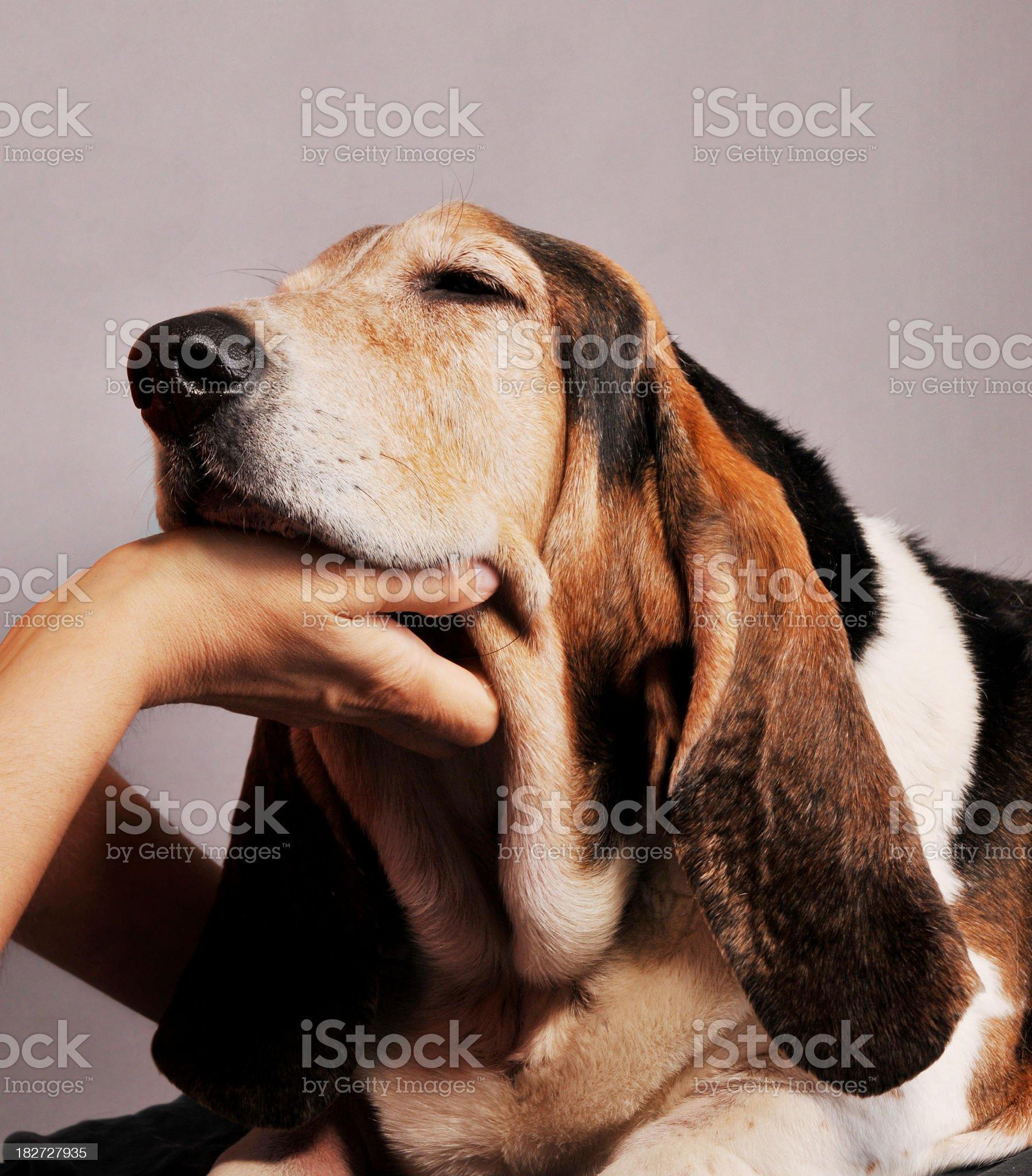 Close-up of beagle enjoying chin rub from a human royalty-free stock photo