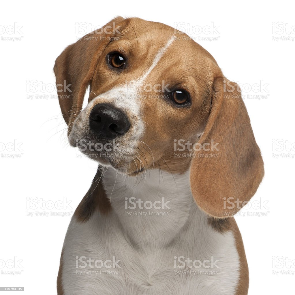 Close-up of Beagle puppy, 6 months old, white background. stock photo