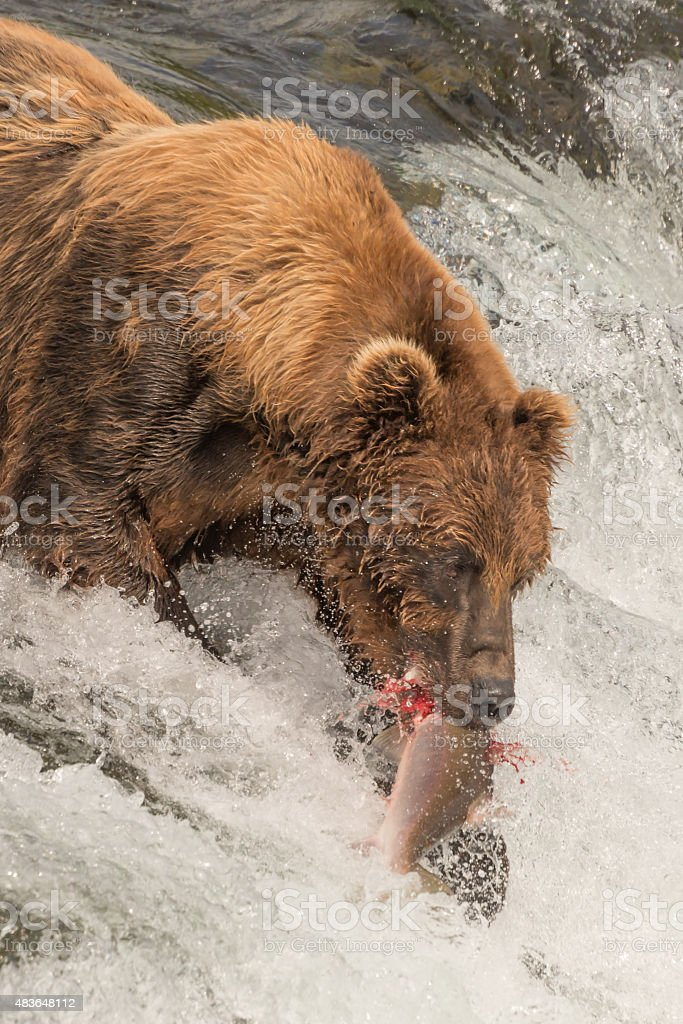 Close-up of bear with salmon in mouth stock photo
