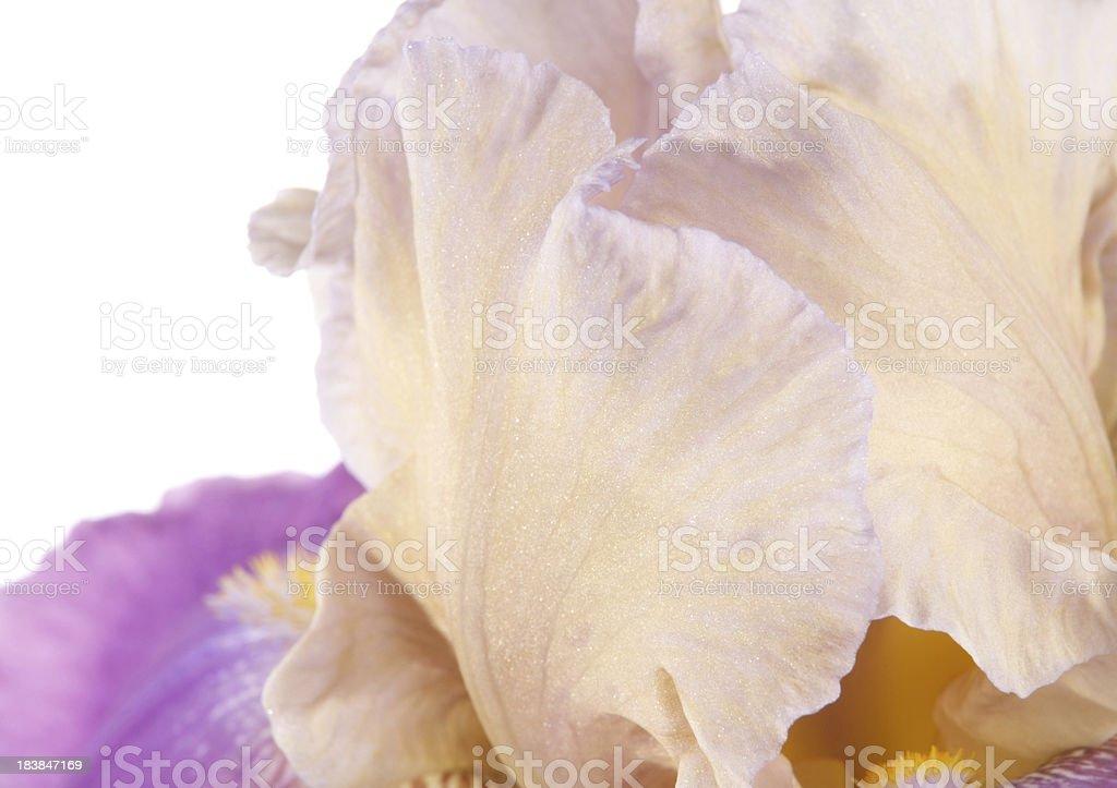 Closeup of bearded iris. royalty-free stock photo