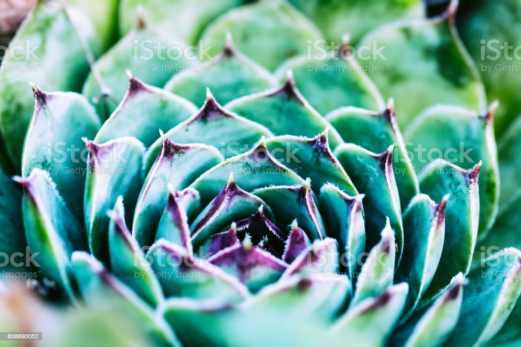 Close-up of beautiful and colorful sempervivum succulent houseleek plant in spring season in march stock photo