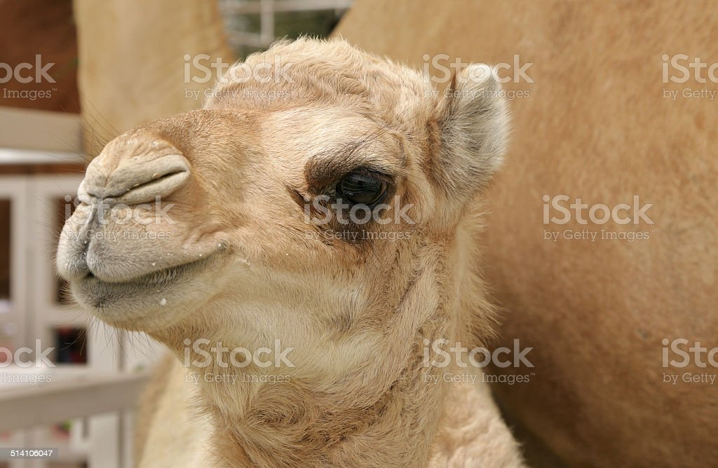 closeup of beautiful camel calf stock photo