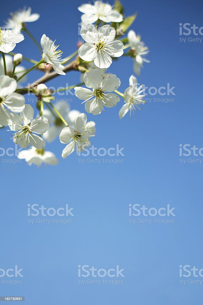 Close-up of beautiful cherry flowers royalty-free stock photo