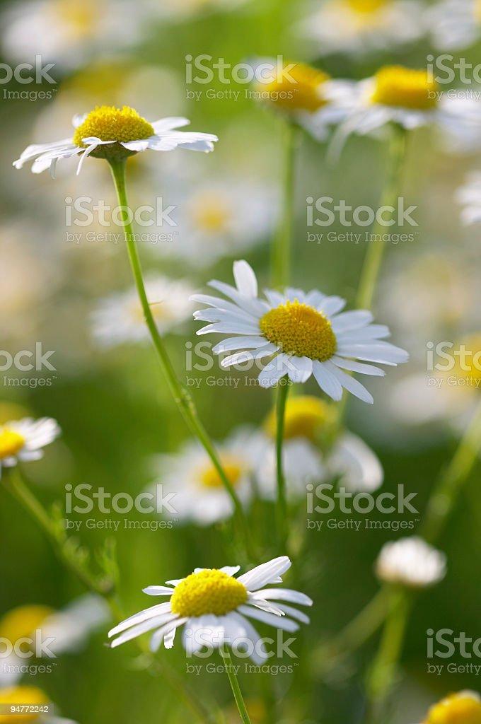 Closeup of beautiful daisies - medical camomile royalty-free stock photo