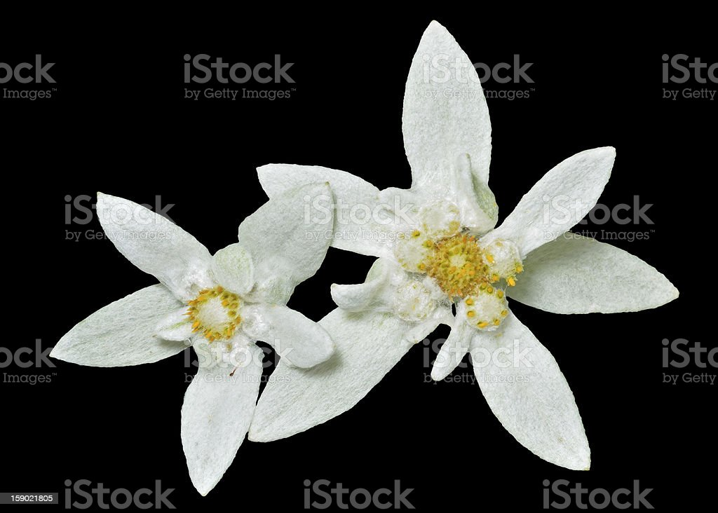 Close-up of beautiful Edelweiss stock photo