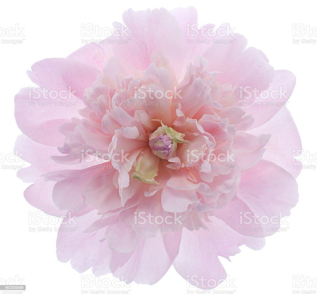 Close-up of beautiful light pink petal peony royalty-free stock photo