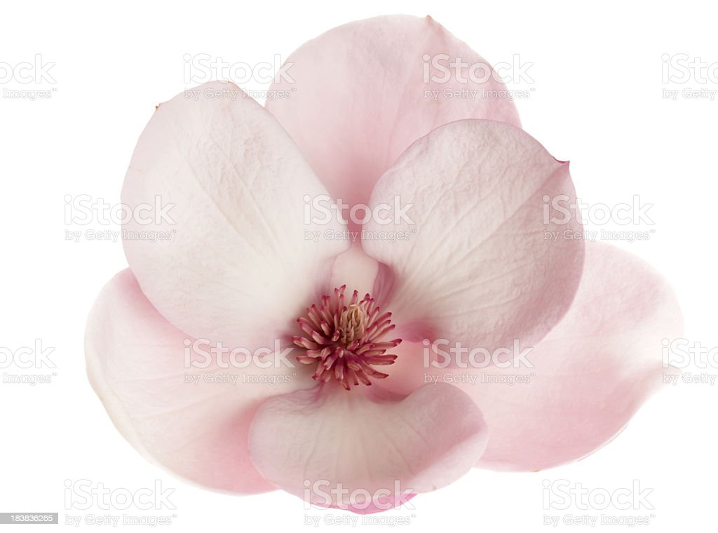 Close-up of beautiful magnolia flower isolated on white stock photo