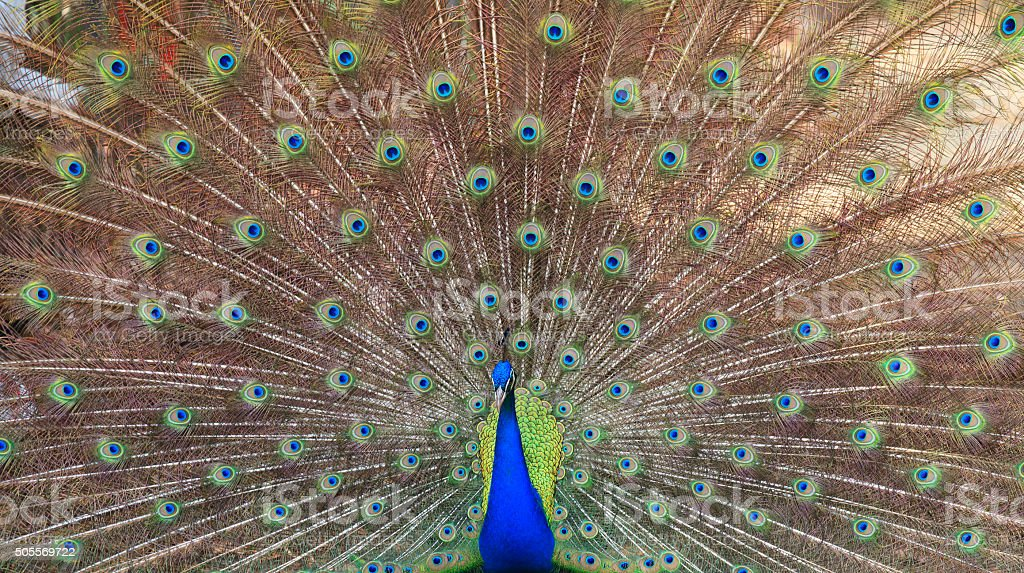 Close-up of beautiful peacock with feathers out stock photo
