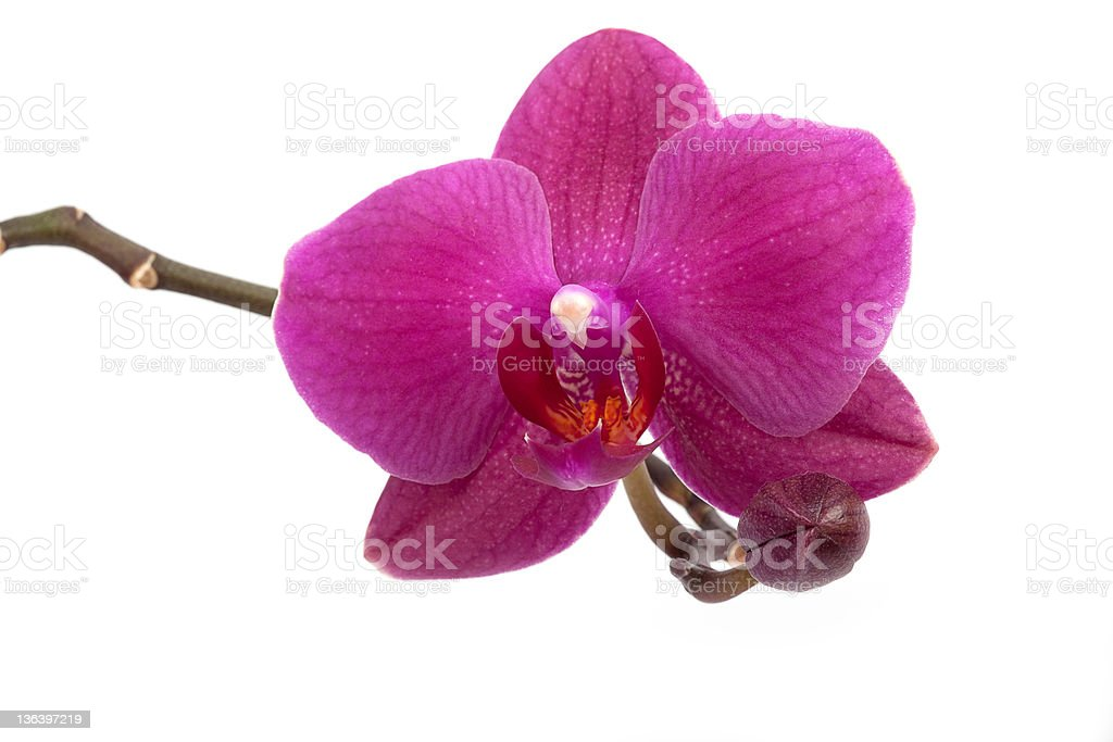 Close-up of beautiful pink orchid flower on white royalty-free stock photo