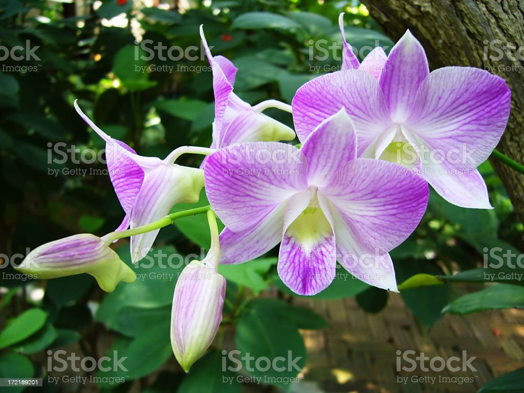 Close-up of beautiful purple and white orchids stock photo