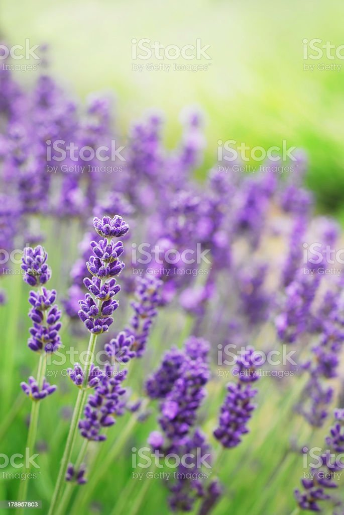 Close-up of beautiful purple lavender flowers in grass stock photo